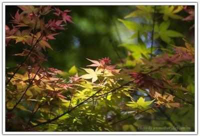 槭,攝於台北奧萬大