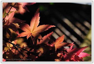 台北奧萬大楓紅(槭樹)