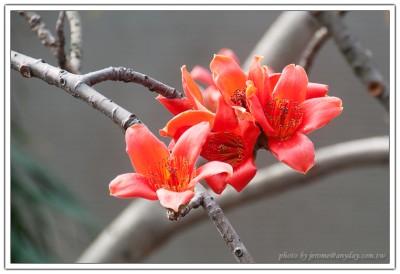 火紅的木棉花